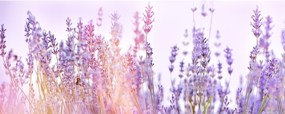 Lavenders growing robustly in a field