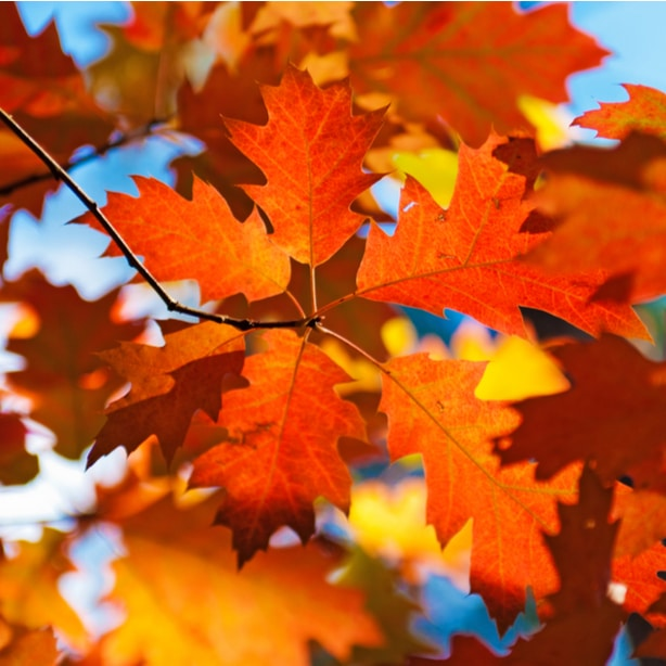 In the autumn, red oak leaves become a vibrant red color.