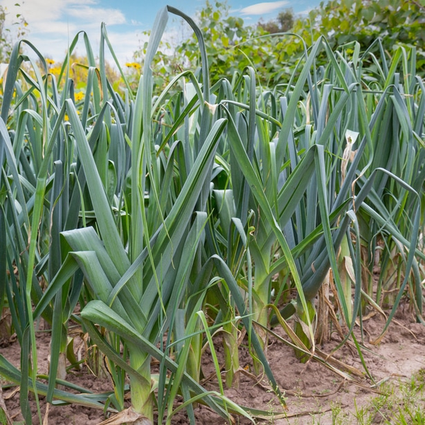 """The """"leek"""" stage of onions"""