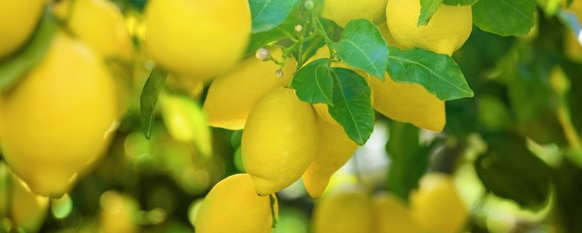 How to Care for and Grow a Lemon Tree