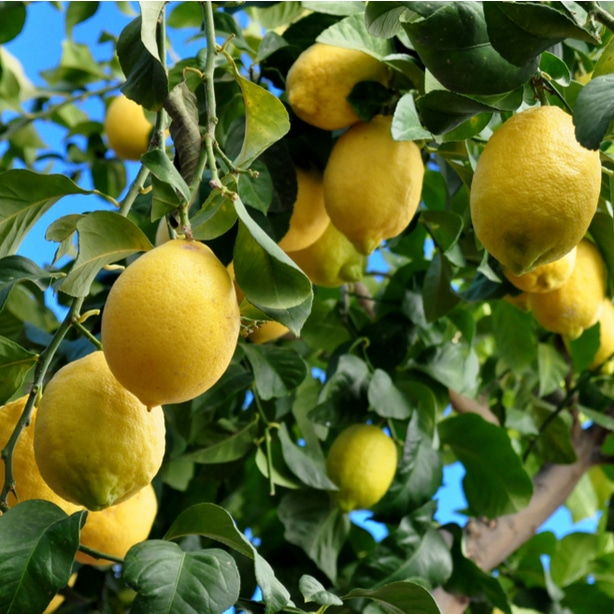 With proper tips, lemon trees can flourish in your garden.