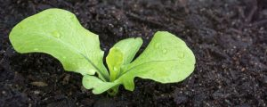 Lettuce growing healthy with the use of a grow guide