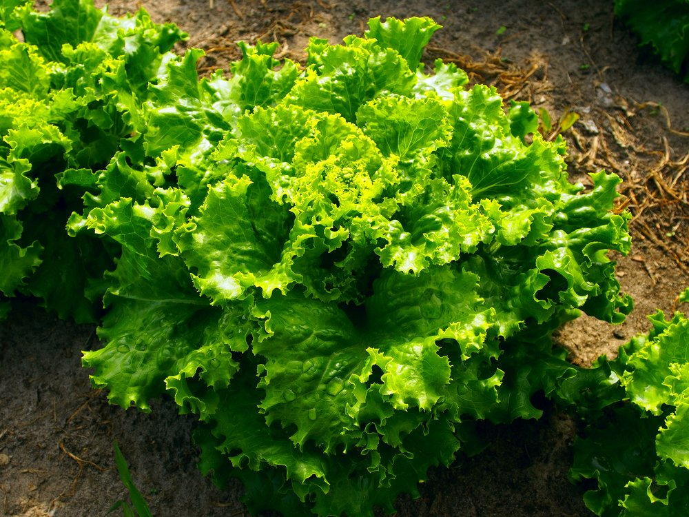 Lettuce growing in the ground