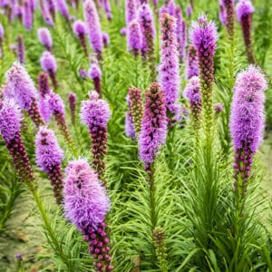 Liatris are colorful coned shaped flowers that can attract pollinators