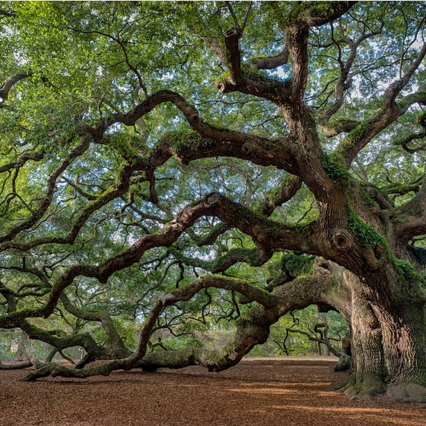 Live oak trees have low hanging and beautiful branches