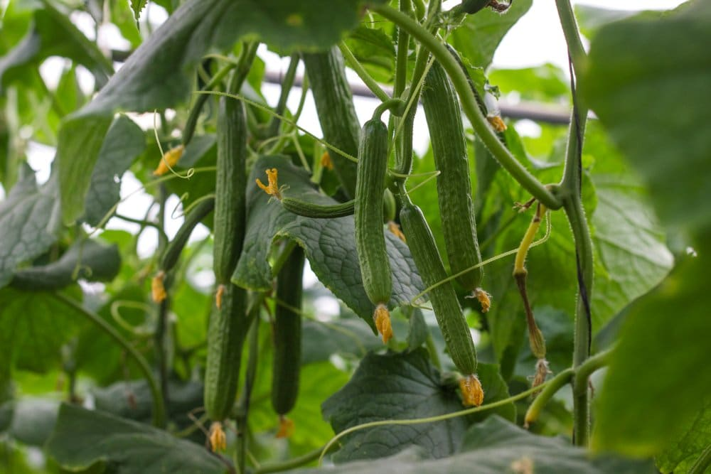 Cucumbers that are hanging from the vine, ready to be harvested