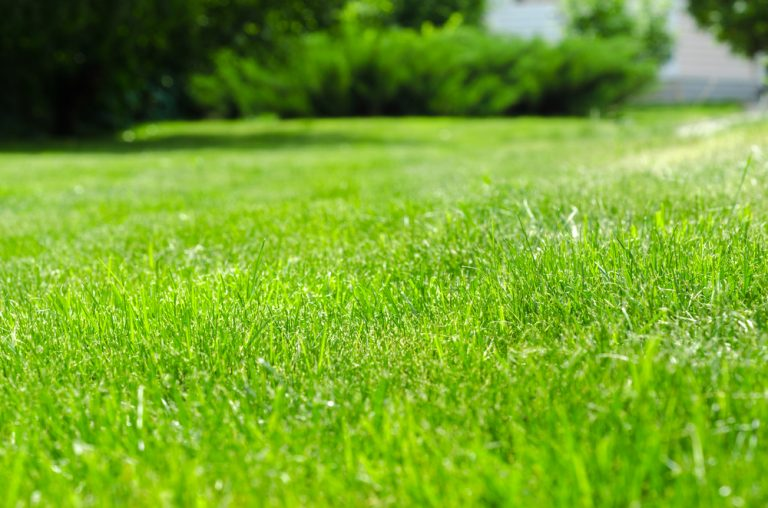 Luscious healthy lawn after lime has been applied