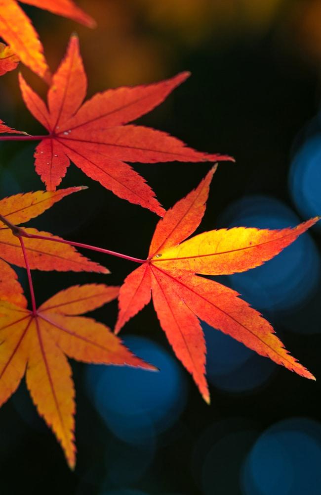 Star-shaped japanese maple leaves