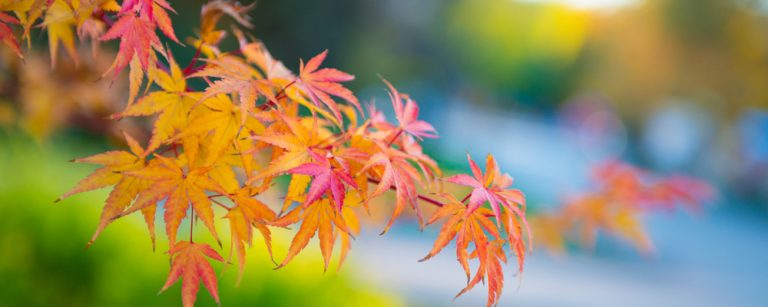 Japanese maple tree leaves growing strong because of good care
