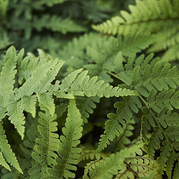 Wood fern can thrive without full sun.
