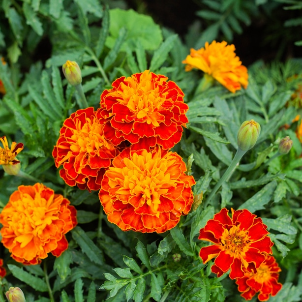 Deter insects with flowers such as Marigold.