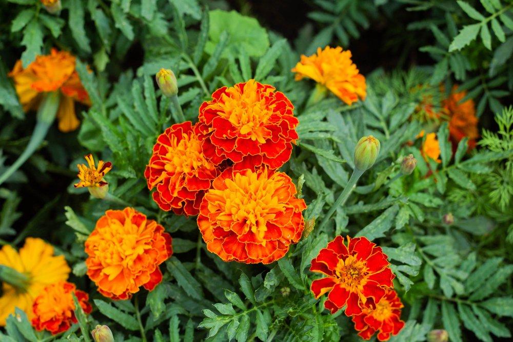 A couple orange-ish red marigolds