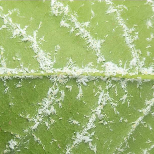White mealybugs infesting a plant
