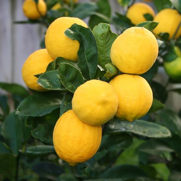 Meyer lemon tree with healthy yellow lemons