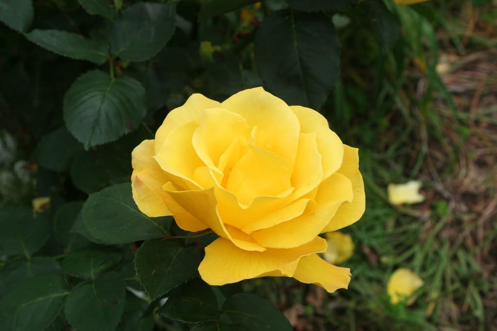 Midas touch is a wonderful addition to a home garden