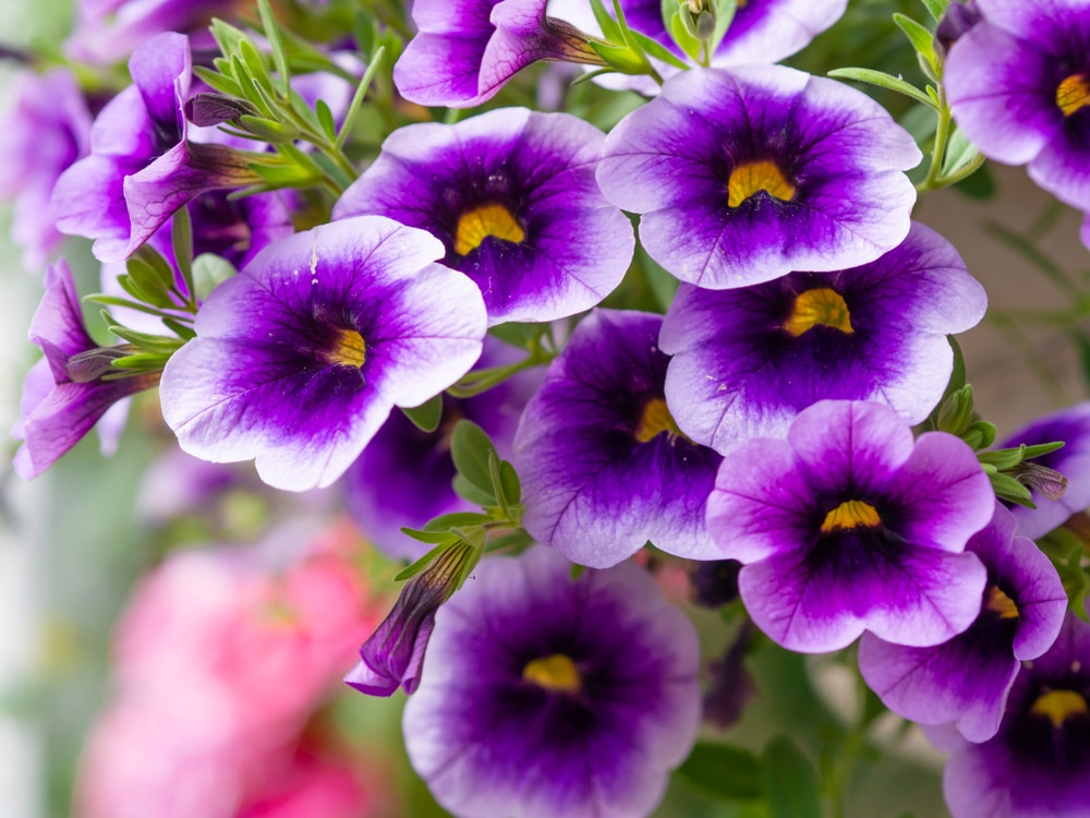 Million bells produce beautiful flower blooms