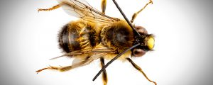 Miner bees can be beneficial insects