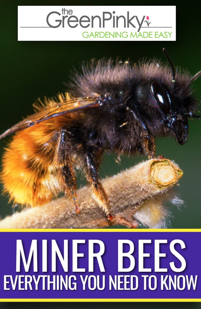 Everything you need to know about miner bees is important