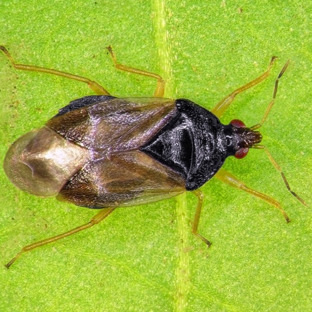 Minute pirates are large and will help to eliminate thrips.