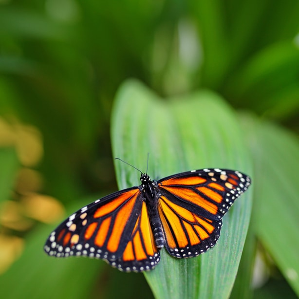 A majestic monarch butterfly with its orange-yellow wings lands on a flower to take nectar