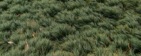 Mondo Grass Information and Care