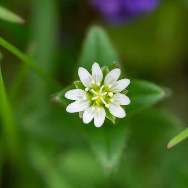 Mouse eared chickweed are weeds with white flowers.