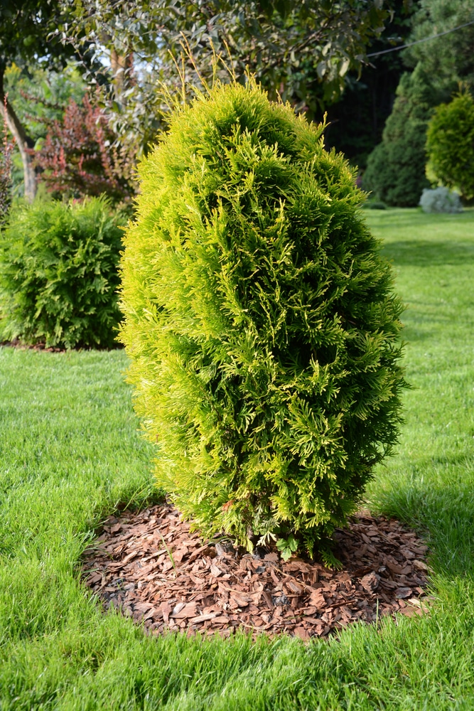 Arborvitae with mulch can prevent disease.