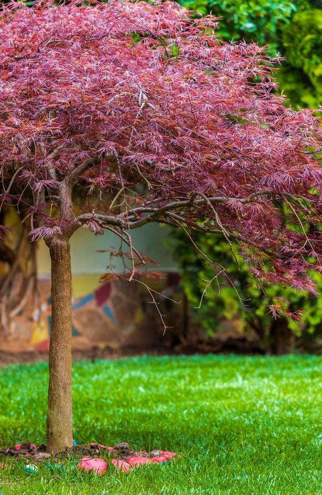 Mulch around japanese maple tree helps it flourish