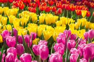 Different types of tulips
