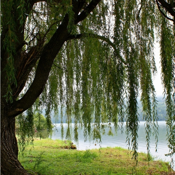 Weeping willows grow best near bodies of water