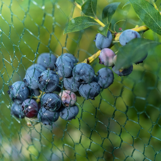 Netting can prevent birds from getting at your fruit.