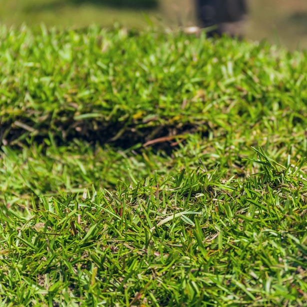 Although growing from seed is possible, most people lay down centipede sod.
