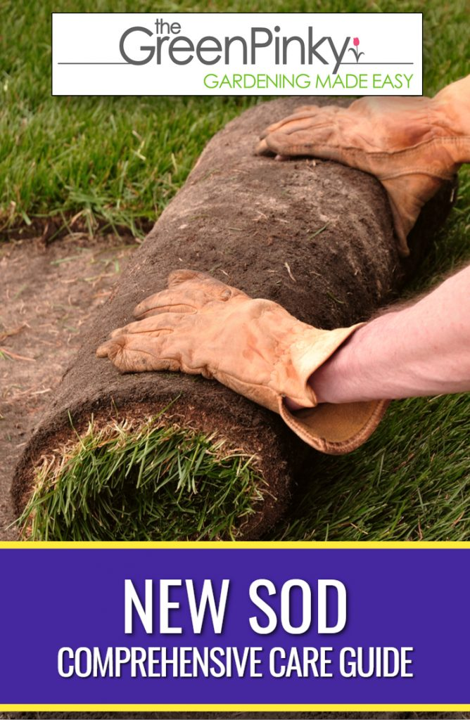 Rolling out sod and installing it correctly is part of proper care of sod.