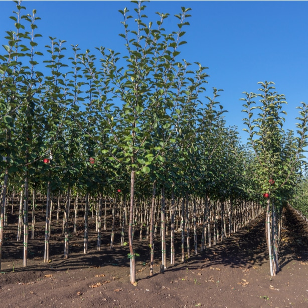 Choosing the best sapling is crucial to a healthy homegrown plant.