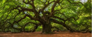 Oak trees need to be cared for properly to have optimal growth