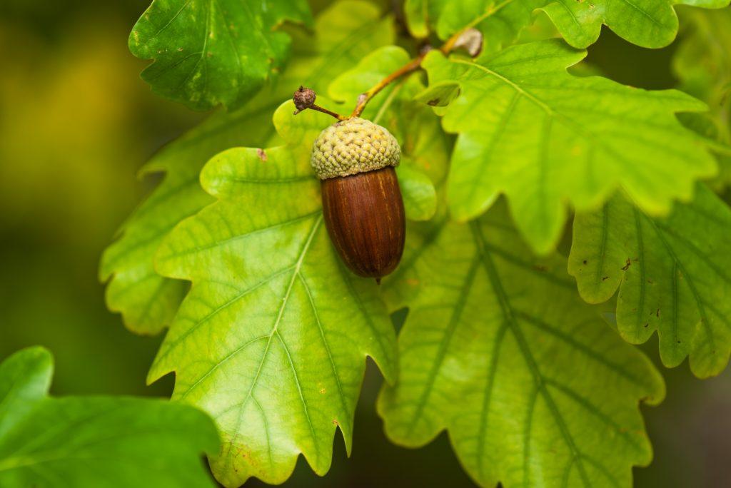 Acorn produced by an oak tree