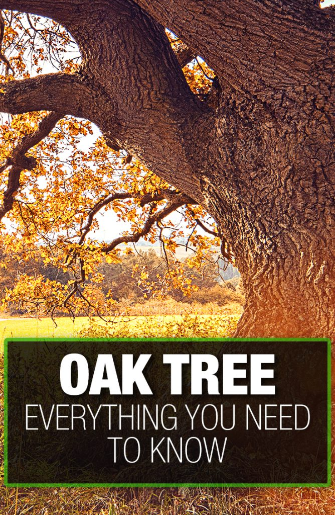 Oak tree needs proper soil, water, and sun to grow with robustness