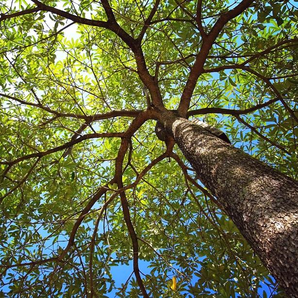 Foliage of the oak tree canopy.
