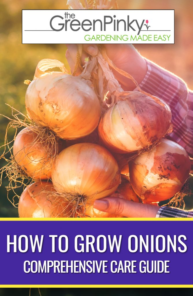 Healthy harvested onions are a result of proper care and maintenance.