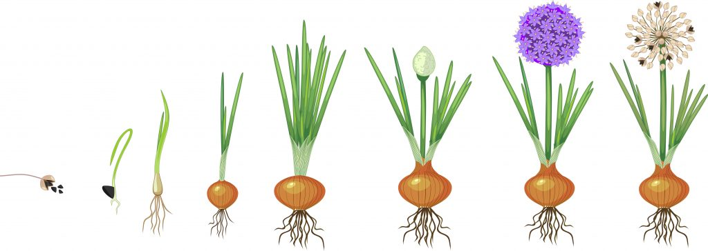The different growth stages that an onion grows through for reproduction