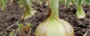 Onion in its life cycle that is ready for harvest