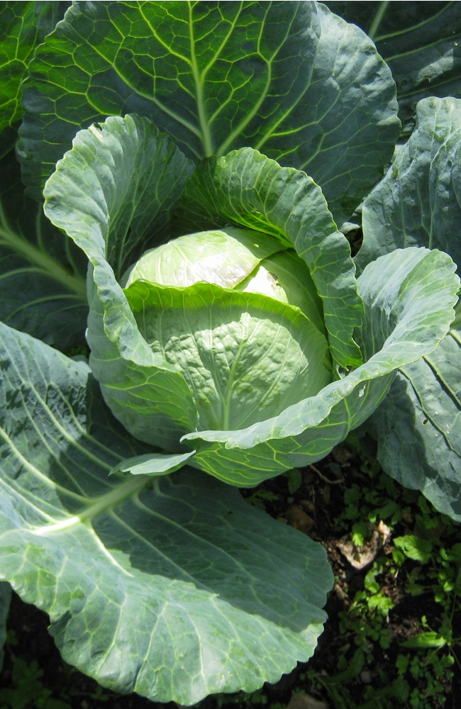 Cabbage requires tailored nutrients to grow robustly.