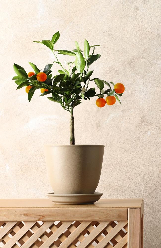 Orange tree is growing robustly