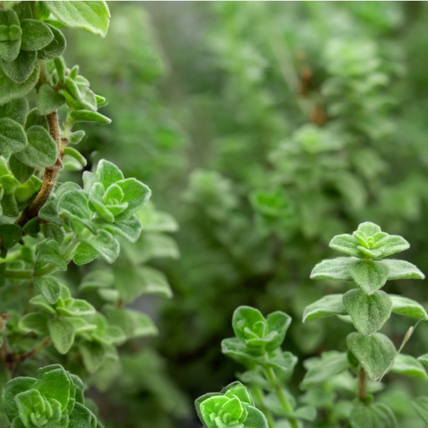 Oregano is a useful herb in italian dishes that can be used to deter moths