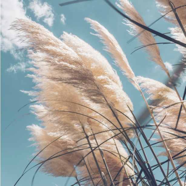 Pampas is usually used as an ornamental grass.