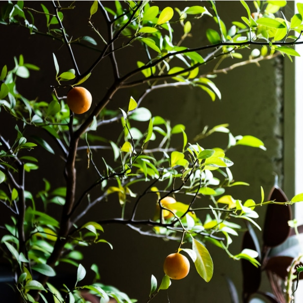 A young lemon tree overwintering indoors.