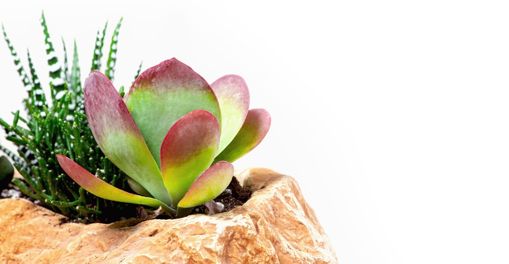 How to Care for a Paddle Plant