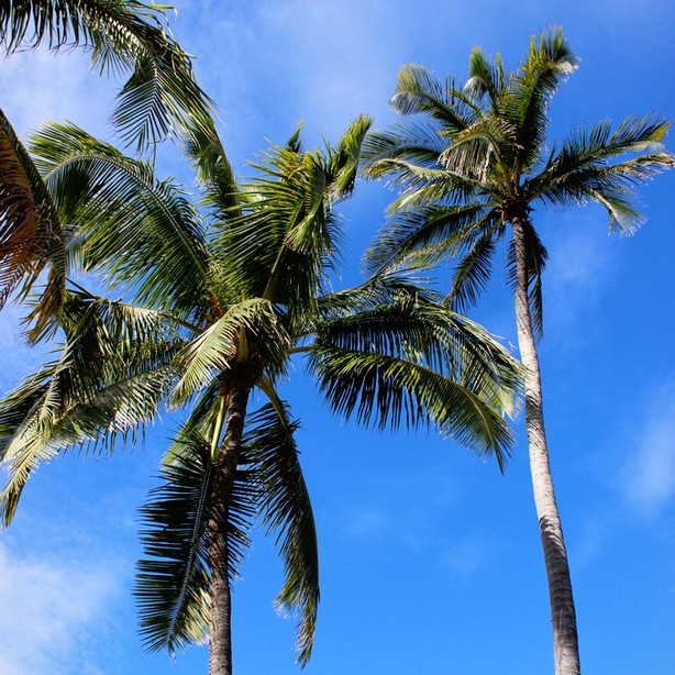 Palm trees grow strong and tall when given the right growing circumstances