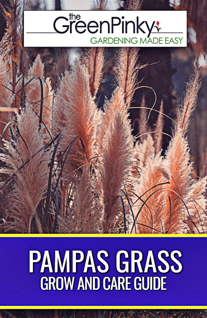 Growing pampas grass is not difficult with proper instructions.