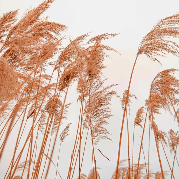 Pampas grass blowing in the wind.
